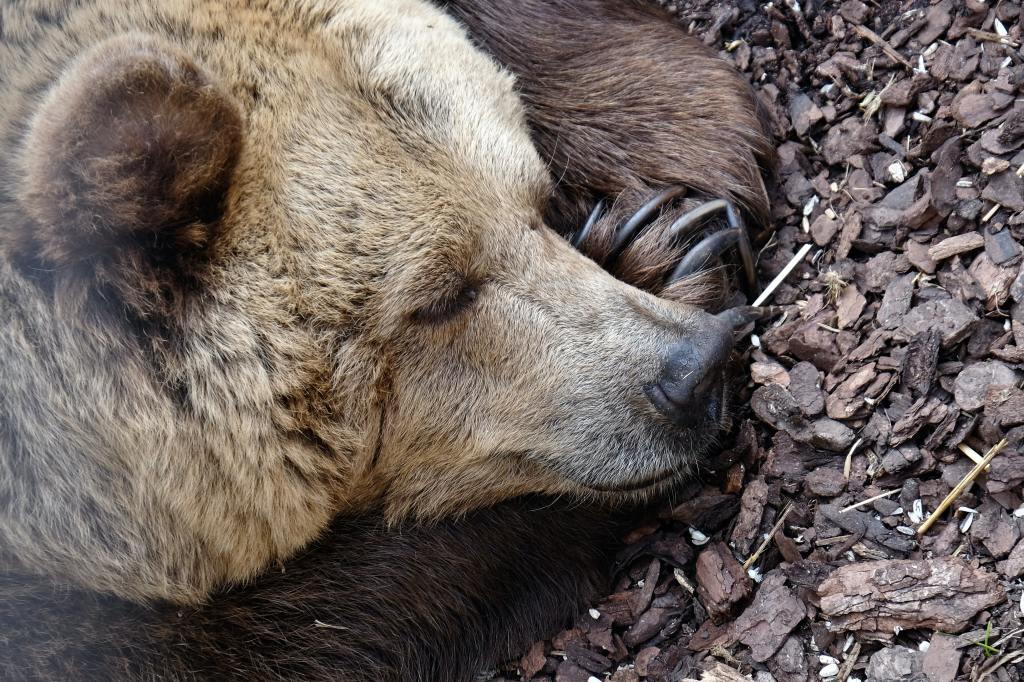 ours qui dort, sommeil